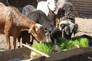 Utilisant de l'orge, disponible localement, les familles sahraouies destinataires du programme se servent de bacs pour faire pousser le fourrage destiné à nourrir le bétail.