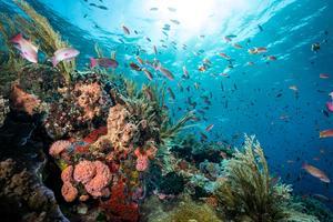 Au large de l'île de Komodo (Indonésie), réputée pour les dragons vivant à sa surface, se déploient de somptueux fonds marins peuplés de poissons anthias.