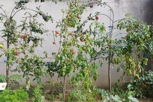 La plupart des pommiers et tomates proviennent du compost.