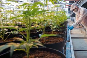 Pour favoriser sa croissance, le cannabis est cultivé dans des serres.