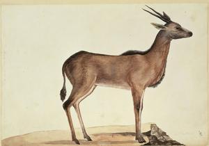 Animal peint par Georg Foster lors du deuxième voyage de James Cook (1772-1775).