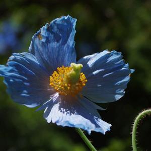 Pavot bleu de l'Himalaya.