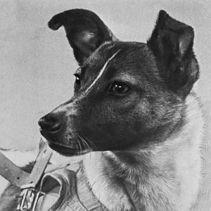 Laïka était une chienne errante au pelage noir et blanc, croisement entre un husky et un terrier.