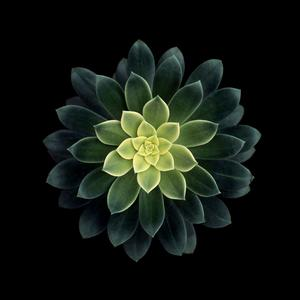 Aeonium harworthii.