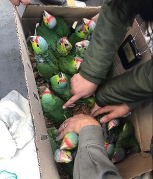 Des perroquets ont été saisis dans des cartons.