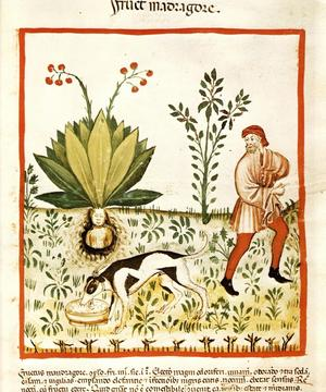 Arrachage d'une mandragore dans le manuscrit médiéval <i>Tacuinum Sanitatis</i>.
