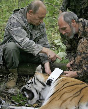 Vladimir Poutine ferme à clef un collier GPS sur un tigre le 31 août 2008.