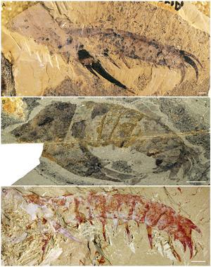 Fossile de radiodonte découvert en Chine