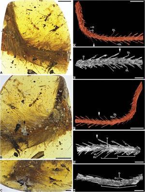 Photomicrographies et reconstructions aux rayons X de la «queue à plumes».