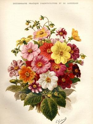 Dahlias. Extrait du <i>Dictionnaire pratique d'horticulture et de jardinage</i>.