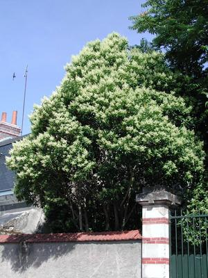 Le troène à feuilles luisantes peut atteindre la taille d'un petit arbre.