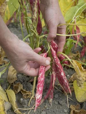 Cueillette de haricots à écosser.