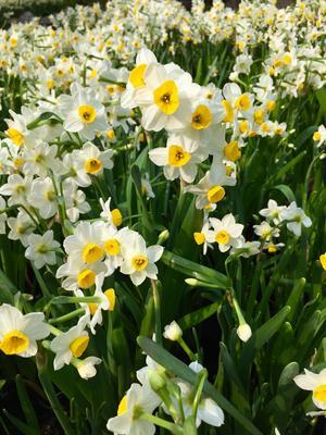 <i>Narcissus tazetta</i>, espèce multiflore.