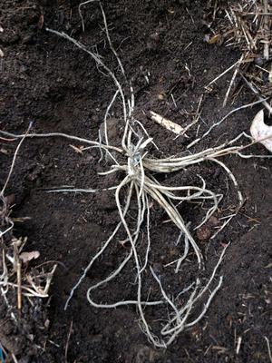 Rhizome, ou «griffe», d'asperge au moment de la plantation.