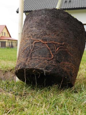 Les racines doivent être saines et ne pas former de «chignon» à la base du pot.