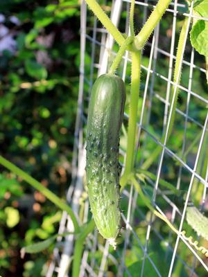 Le concombre peut aussi se cultiver comme une plante grimpante.