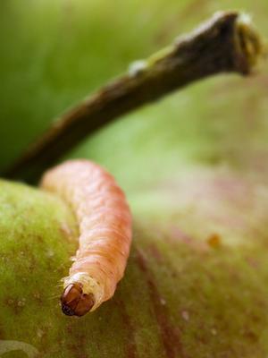 Le «ver» de la pomme est en fait la chenille d'un petit papillon de nuit, le carpocapse.