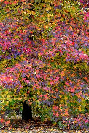 Somptueux liquidambar de l'arboretum de Versailles-Chèvreloup.