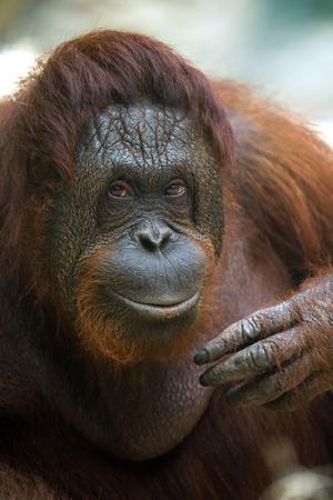 Un orang-outan femelle, zoo de Beauval