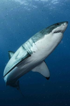 Les grands requins blancs seraient très sensibles aux phéromones.