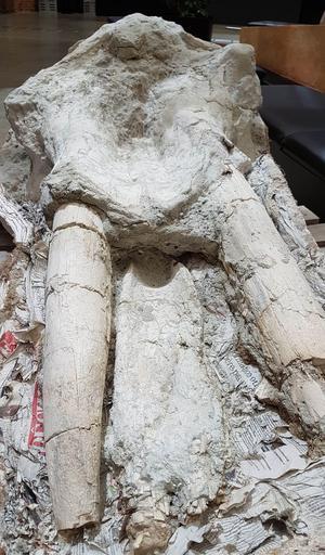 Ce lointain cousin de l'éléphant mesurait près de 2m50, il possédait quatre défenses d'environ 80 centimètres, deux dans la mâchoire du haut et deux dans la mâchoire du bas.
