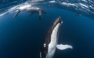 En Polynésie dans le sillage des baleines