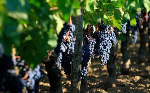 Défiscalisation : la vigne, une valeur sûre?