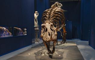 Trix, une T-rex de 12,5 mètres de long dont le squelette date de près de 67 millions d'années.