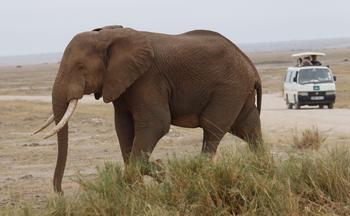 Depuis 1976, l'éléphant africain a subi un déclin de 86%. Le braconnage et le commerce illégal sont la principale raison des massacres.