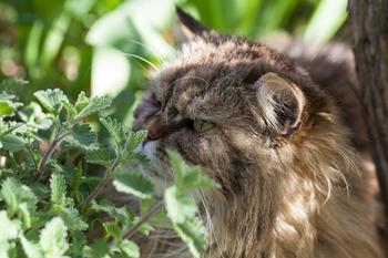 Les chats apprécient particulièrement la cataire, d'où son nom.