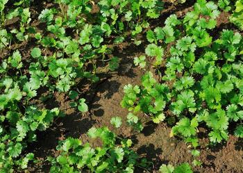 Semis de coriandre