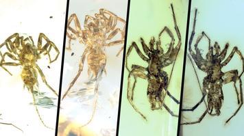 Les quatre araignées archaïques fossilisées dans l'ambre.