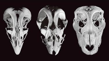 Les poules auront-elles bientôt des dents (de dinosaure)?