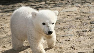 Le mystère de la mort de Knut, l'ours star du zoo de Berlin, enfin élucidé