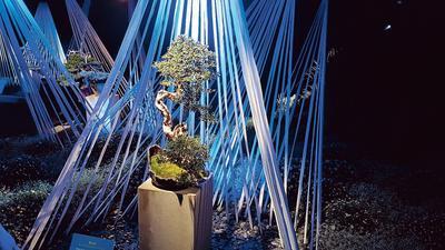 Ce buis est l'un des neufs bonsaïs d'exception exposés dans le «jardin des Toiles».