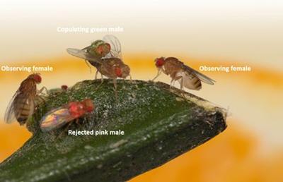 Le mâle vert, en train de copuler, a été préféré au rose. Cela attire l'attention des femelles présentes qui rejetteront par la suite les mâles roses.