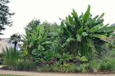 Les splendides bananiers du jardin de la Retraite. Photo: Ville de Quimper.