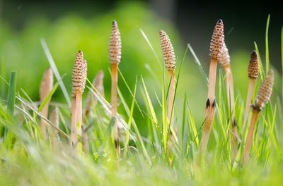Au printemps des sporanges apparaissent au sommet des tiges femelles (ici la prêle des champs ou <i>Equisetum arvense</i>).