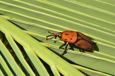 L'emploi d'insecticide de synthèse contre le charançon du palmier sera encore autorisé.