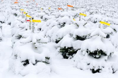 Plantation de sapins Nordmann sous la neige.