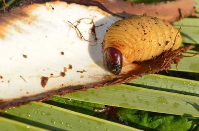 La larve du charançon rouge se nourrit de l'intérieur du stipe, le «tronc» des palmiers.