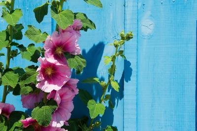 La rose trémière est une plante qui résiste bien à la sécheresse.