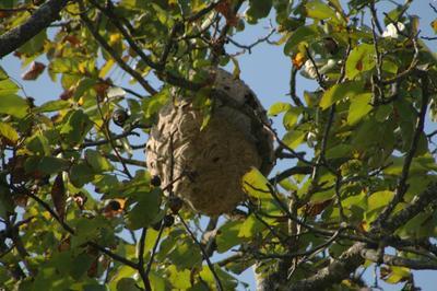 Le tir de cartouches permet de détruire facilement et à moindres frais les nids situés à la cime des arbres. Photo: André Bianco/Flickr.