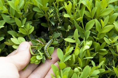 La chenille de pyrale du buis peut être efficacement combattue au moyen d'un insectide bio.