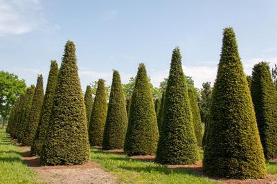 Les ifs se prêtent très bien à la création d'architectures vertes ou de topiaires.