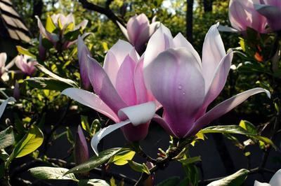 Splendide spécimen de <i>Magnolia x soulangeana</i> en fleurs.