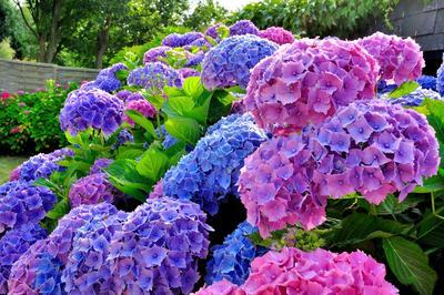 Pour bleuir, les hortensias ont besoin d'acidité et d'aluminium.