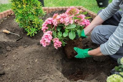 Plantez vos hortensias dans un mélange composé d'un tiers de terre de jardin, d'un tiers de terreau de plantation et d'un tiers de tourbe blonde .