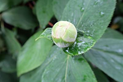 Les boutons floraux d' <i>H. involucrata</i> ressemblent à s'y méprendre à ceux des pivoines.