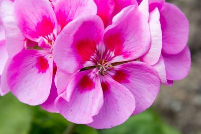 L'acide pélargonique est un herbicide bio naturellement sécrété par le géranium.